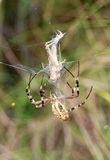 The wasp spider Royalty Free Stock Image