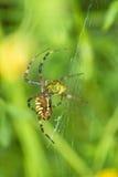 Wasp spider, Argiope bruennichi. Closeup of a wasp spider, Argiope bruennichi Royalty Free Stock Image