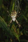 Wasp spider (Argiope bruennichi) Stock Image