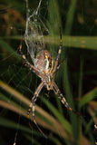 Wasp spider (Argiope bruennichi) Royalty Free Stock Photography