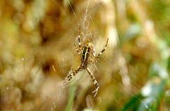 Wasp spider argiope bruennichi. On green background Stock Photos