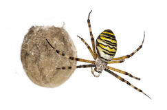 Wasp Spider, Argiope bruennichi, hanging Royalty Free Stock Photo