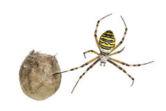 Wasp Spider, Argiope bruennichi, hanging Stock Photos