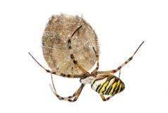 Wasp Spider, Argiope bruennichi, hanging on its egg sack against. White background Stock Images