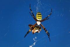 Wasp spider - Argiope bruennichi Stock Photos