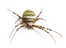 Wasp spider, Argiope bruennichi, isolated Stock Image
