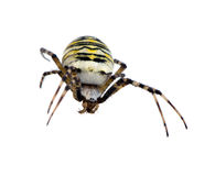 Wasp spider Argiope bruennichi isolated on white Royalty Free Stock Photos