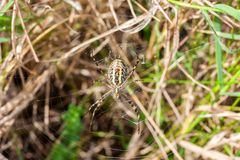 Wasp spider and its web. Wasp spider or Argiope bruennichi on its web Stock Photography