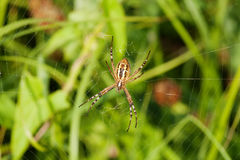 Wasp spider Argiope bruennichi. orb-web Insect with yellow stripes, pattern. green grass background, macro view Royalty Free Stock Image