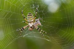 Wasp spider, Argiope bruennichi with pray in Croatia royalty free stock photos