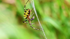 Wasp Spider - Argiope Bruennichi - Prey Stock Images
