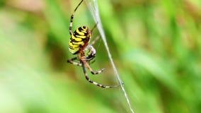 Wasp Spider - Argiope bruennichi - prey stock video footage