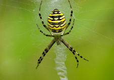 Wasp spider Argiope bruennichi on spiderweb Royalty Free Stock Image