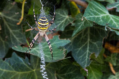 Wasp spider (Argiope bruennichi) waiting for preys in its web Stock Photo