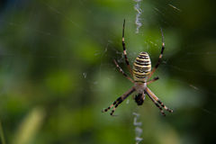 Wasp spider Argiope bruennichi on a web green background Royalty Free Stock Images