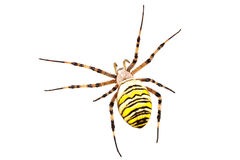 Wasp spider Argiope bruennichi on a white background Royalty Free Stock Photography
