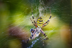 Wasp spider, Argiope with its prey Royalty Free Stock Images