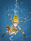 Wasp spider, Argiope with its prey Stock Photos