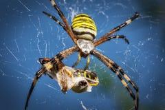 Wasp spider, Argiope with its prey. Wasp spider, Argiope on web with its prey, close up Stock Photography