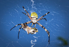 Wasp spider, Argiope with its prey Stock Images