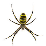 Wasp spider Argiope sp. Royalty Free Stock Images