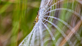 Wasp spider, Argiope, spider web covered by water droplets Stock Image