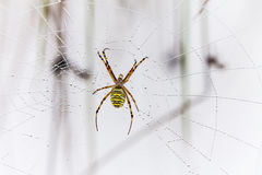 Wasp spider, Argiope, spider web covered by water droplets Stock Photography