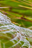 Wasp spider, Argiope, spider web covered by water droplets Royalty Free Stock Image
