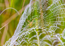 Wasp spider, Argiope, spider web covered by water droplets Stock Photos