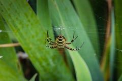 Wasp spider butt. Wasp spider - Argiope bruennichi close up Royalty Free Stock Photo