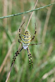 Wasp spider close up Stock Images