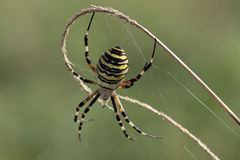 Wasp spider close up Stock Image