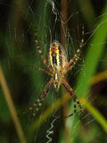 Wasp spider covered early morning dew Stock Photo