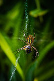 Wasp spider eating bee Royalty Free Stock Photography