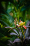 Wasp spider eating bee on web Stock Photography