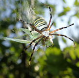 Wasp spider eating a grasshopper Stock Photography