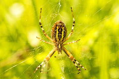 Wasp spider, female in its net Royalty Free Stock Photography