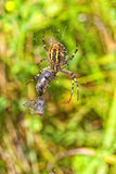 Wasp spider - food intake Stock Photography