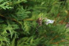 Wasp spider in the garden stock photos