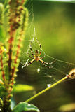 Wasp spider at green field Stock Image