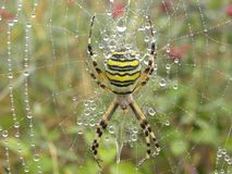 Wasp spider in herault, languedoc, france. Wasp spider in herault, a department of the region Languedoc, france royalty free stock images