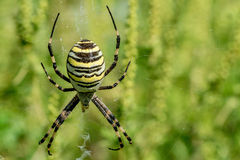 Wasp spider and its web Royalty Free Stock Photo