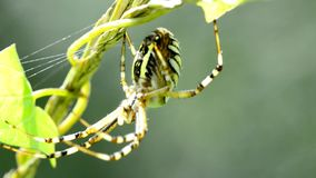 Wasp spider in its web stock footage