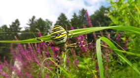 Wasp spider in its web stock video footage