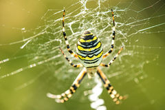 Wasp spider in its web. In Germany Stock Photography