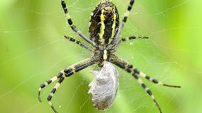 Wasp spider in its web stock video
