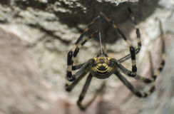 Wasp spider knitting web Stock Photography