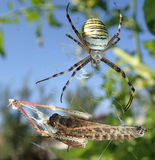Wasp spider and locust Stock Images