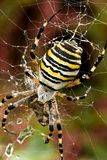 Wasp spider. Macro of female wasp spider in her cobweb Royalty Free Stock Photos