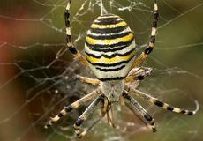 Wasp spider. Macro of female wasp spider in her cobweb Stock Image